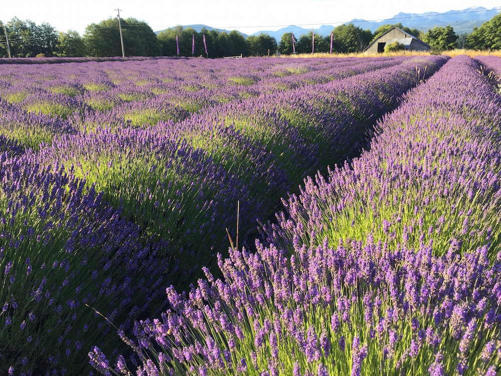 Lavender fields in bloom - Sequim, WA - B