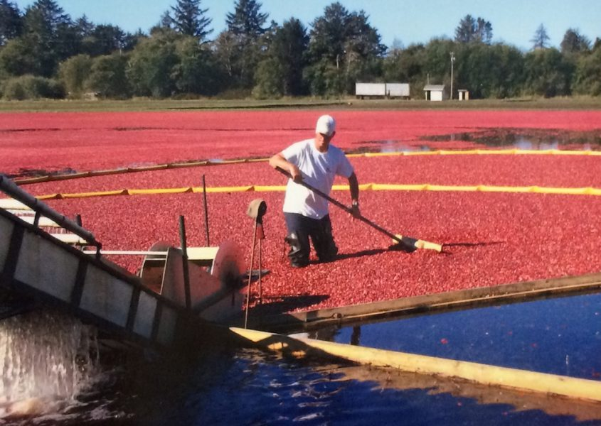 Wet Harvest- The most common method of cranberry harvesting