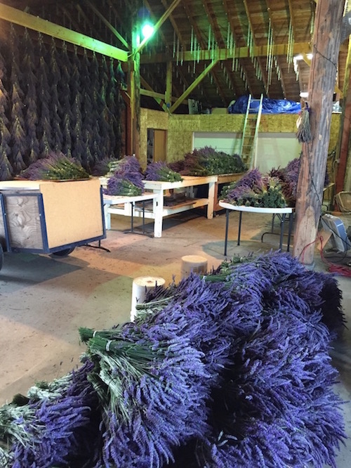 Fresh Cut Lavender - photo courtesy of B&B