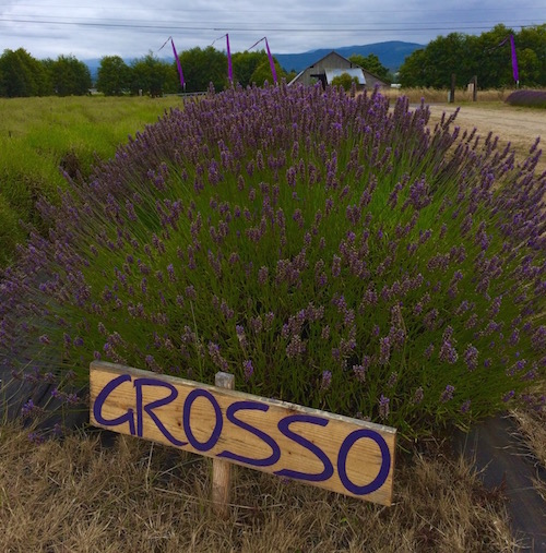 Grosso lavender plants - B&B Lavender Farm in Sequim