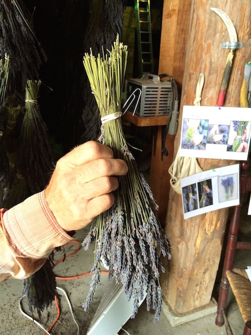 Hanging bunches of lavender to dry by paper clip