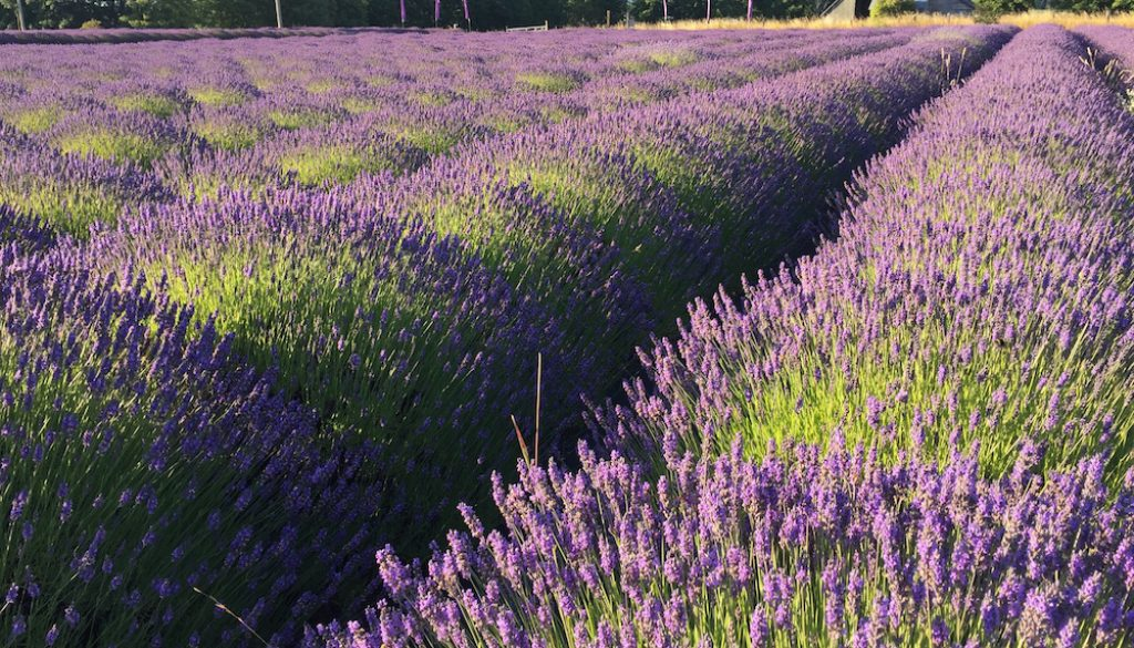 Lavender fields in bloom - Sequim, WA - B & B Family Farm