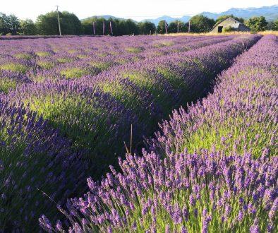 Lavender fields in bloom - Sequim, WA - B & B Family Farm